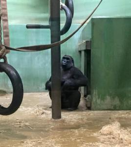 This gorilla kept standing up and holding his butt checks out for all to see.  Typical man ;)