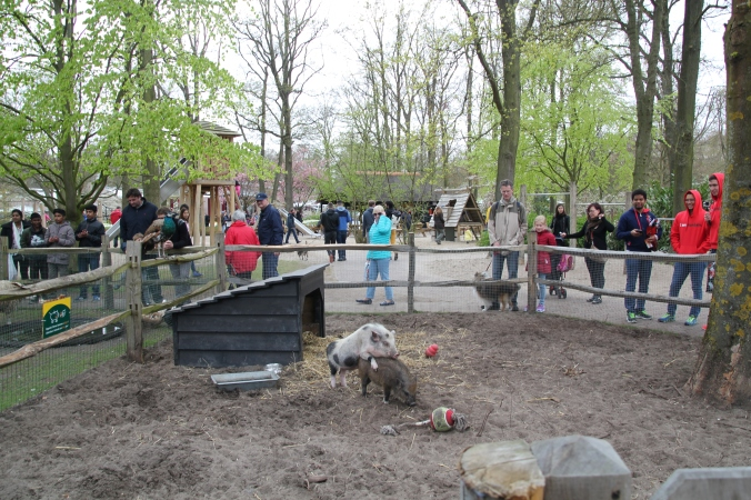 There was a petting zoo at Keukenhof.  And there were pigs. And the pigs were... well, you can see what they were doing.  Aidan described it as a