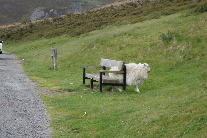 I thought at first this sheep was stuck under the bench but turns out he was just scratching himself...