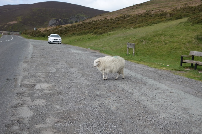 We were on top of the mountain and the sheep just cross whenever they feel like it.