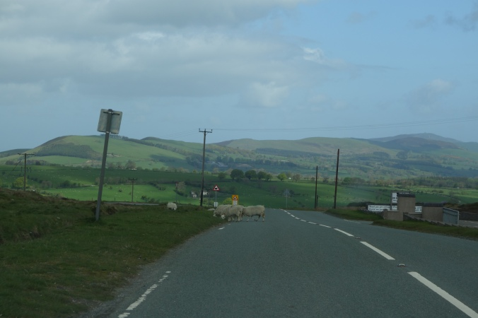 More sheep crossing