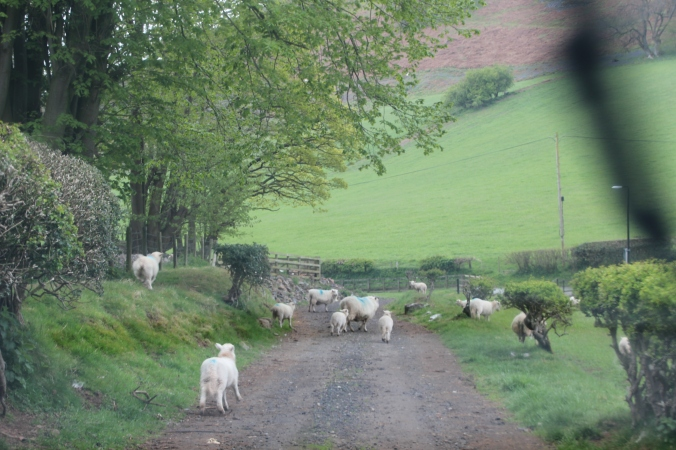 More lambs in the road!