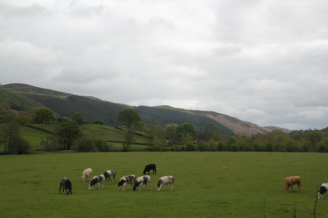 Cows grazing along the way
